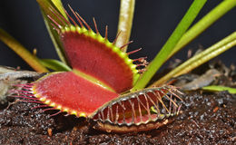 Carnivorous plant Stock Image