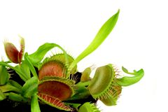 Carnivorous plant Stock Images