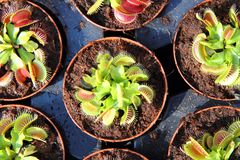 Carnivorous plant. As nice exotic natural background Royalty Free Stock Photography