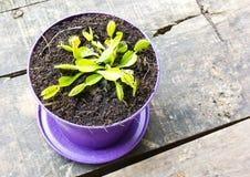 Carnivorous plant. Venus dionaea closeup Royalty Free Stock Image