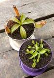 Carnivorous plant. Venus dionaea closeup Royalty Free Stock Photography