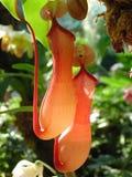 Carnivorous plant. Sarracenia Royalty Free Stock Photo