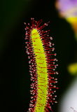 Cape Sundew Royalty Free Stock Photography