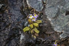 Free Carnivorous Plant Butterwort On Serpentine Rocks In Greece Royalty Free Stock Images - 148966579