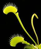 Carnivorous plant detail Royalty Free Stock Image