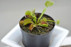 Carnivorous plant Dionaea Muscipula royalty free stock photos