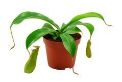 Carnivorous plant stock photography