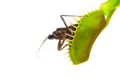 Carnivorous plant with insect. Isolated Royalty Free Stock Images