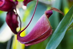 Carnivorous Plant (Nepenthes) Royalty Free Stock Photos