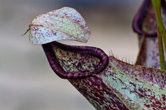 Carnivorous Plant (Nepenthes) Stock Images