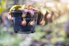 Carnivorous plant - Nepenthes stock photos