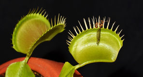 Carnivorous plant with prey. Crane fly in jaws of carnivorous plant venus dionaea Stock Photography