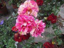 Rosa marmorea Stock Photo