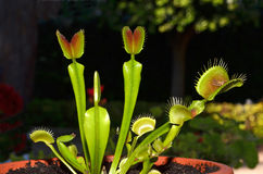 Carnivorous plant venus Stock Images