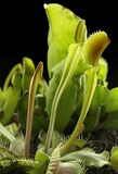Carnivorous plants Stock Photo