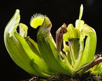 Carnivorous plants Royalty Free Stock Images