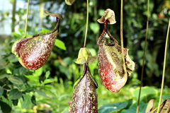 Carnivorous Plants. Flower of Carnivorous Pitcher Plant Royalty Free Stock Image