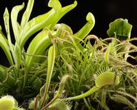 Free Carnivorous Plants Royalty Free Stock Images - 33270039