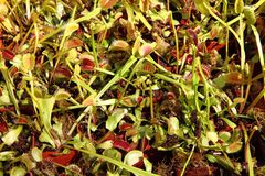 Carnivorous plants background Royalty Free Stock Photos