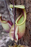 Carnivorous plants - Beautiful Close up Green N. viging Stock Photo