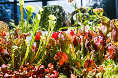 Carnivorous plants in a greenhouse on blurred background Stock Images