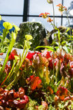 Carnivorous plants in a greenhouse on blurred background Stock Photos