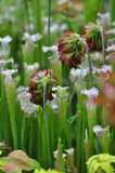 Carnivorous Plants. Carnivorous pitcher plants grown Stock Images