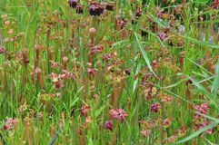 Carnivorous Plants Royalty Free Stock Photos