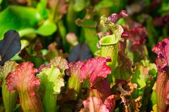 Carnivorous Sarracenia pitcher plants. Commonly called trumpet pitchers Royalty Free Stock Image