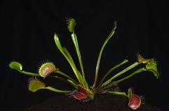 carnivorous snärjd krypväxt royaltyfria foton