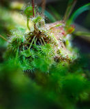 Carnivorous Sundew plant Stock Photography
