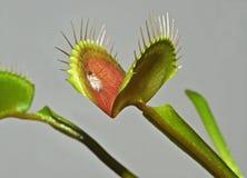 Carnivorous växt Arkivbild