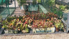carnivorous växt royaltyfria bilder
