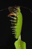 carnivorous växt arkivbilder