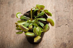 Free Carnivorous Venus Fly Traps Royalty Free Stock Photo - 66665445