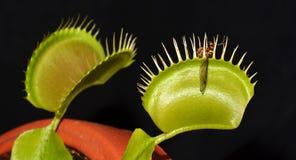 Carnivorous växt med rovet Arkivbild