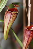 Carnivorus plant - Nepenthes mirabilis tenuis Stock Image