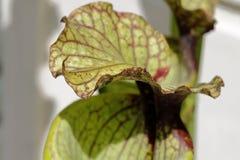 Carnivorus plant- sarracenia. A particular carnivorus plant- sarracenia Stock Images