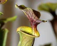 Carnivorus plant - Sarracenia rubricorpora Royalty Free Stock Photos