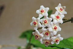Carnosa de Hoya - flores - ascendente cercano - Italia Imagen de archivo libre de regalías