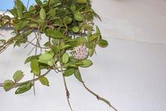 Carnosa de Hoya na flor fotografia de stock royalty free
