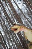 Carnotaurus immagine stock