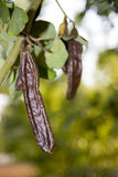 Carob Royalty Free Stock Images