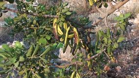 Carob bean pods zoom in. Carob bean pods on the tree, zoom in stock footage