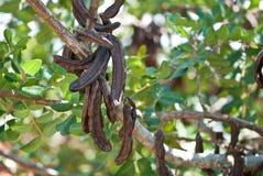 Carob, Ceratonia siliqua Stock Photos