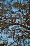 Carob drzewa Fotografia Royalty Free
