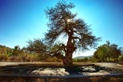 Carob drzewo Zdjęcia Stock