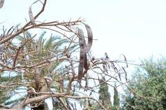 Carob drzewo Zdjęcie Stock