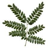 Carob leaf Royalty Free Stock Images