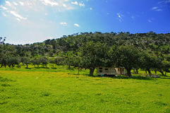 Carob Meadow In The Akamas Stock Images